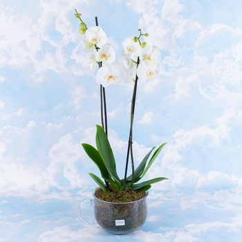 Orchid White 1