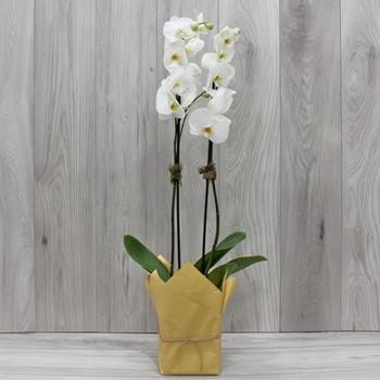 AM Orchids