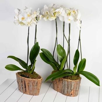 Multi Phalaenopsis