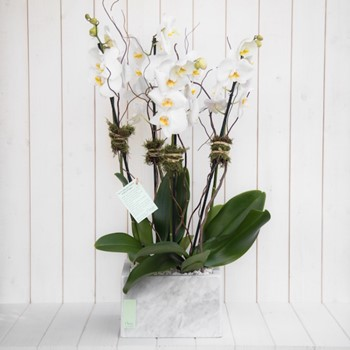 Orchids in Marble