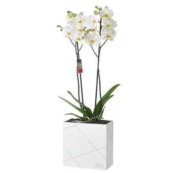 Orchid Plexi Box