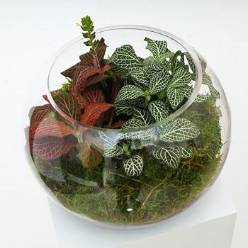 Terrarium Fittonia Small