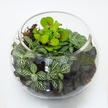 Terrarium Fittonia Medium