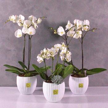 Trio Orchids Set