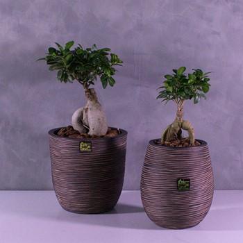 Bonsai Duo