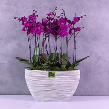 Capi Purple