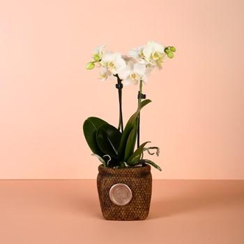 Mini Orchid 1