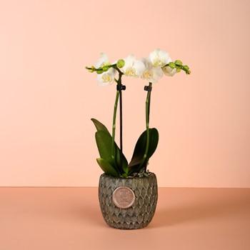Mini Orchid 2