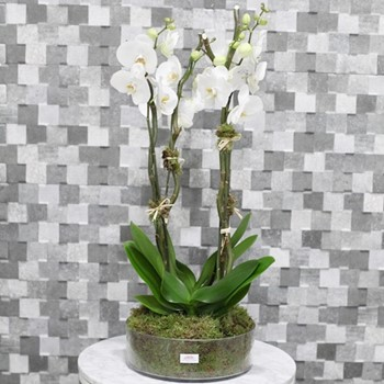Round Phalaenopsis Vase