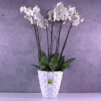 Jumo Orchids