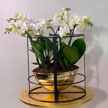 Baby Orchids 5