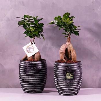 Bonsai Duo 2