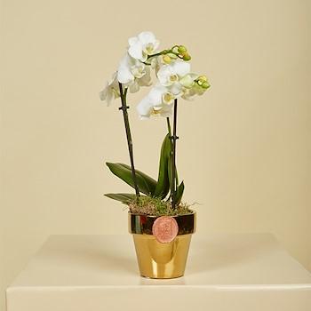 Golden Mini Orchids