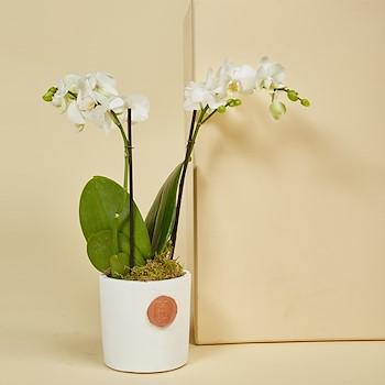 White Mini Orchids