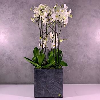 Jumbo Orchids XXL