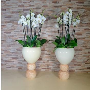 Phalaenopsis White Plantar 1