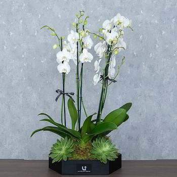 Royal Orchid ll