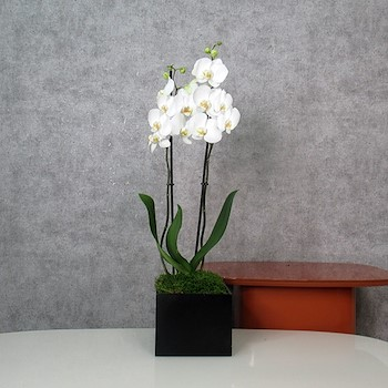 Orchid Black Box