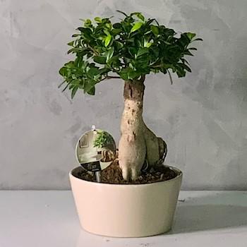Baby Bonsai 2