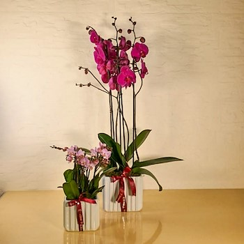 Fuchsia & Pink Orchids