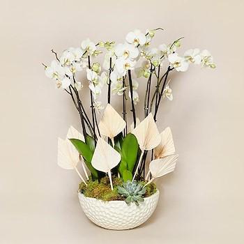 The White Plant