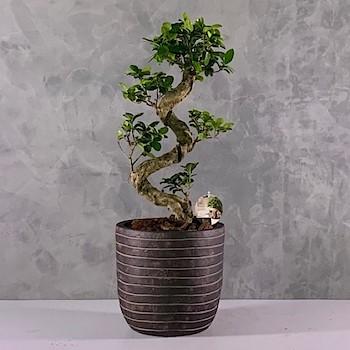 Bonsai Tree 5