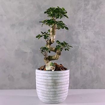 Bonsai Tree 6