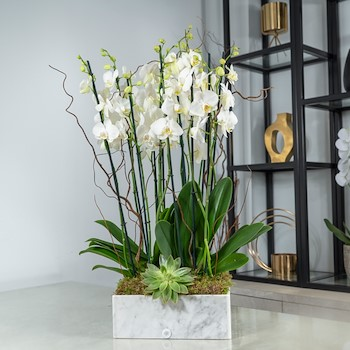Marble Orchids