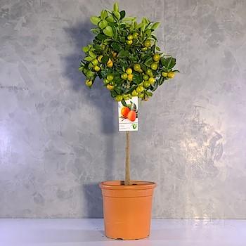 Lucky Citrus Tree 1