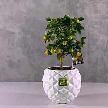 Lucky Citrus Tree 3