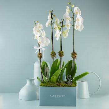 Orchidette 2