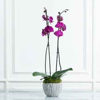 Orchid Venti