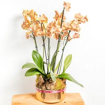 Terracotta Orchid 5