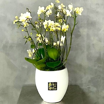 Wild orchids 4