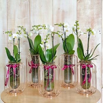 5 Mini Orchids