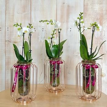3 Mini White Orchids