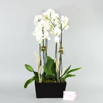 Orchid Line II