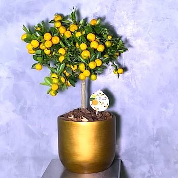 Citrus Gold 3