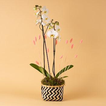Gracias Orchid I