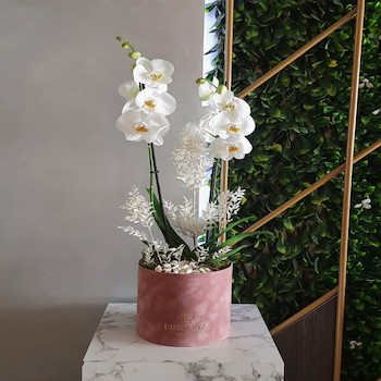 Joudy Orchid