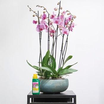 Phalaenopsis Orchids
