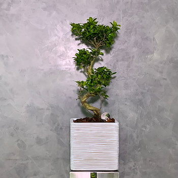 Bonsai Tree 80