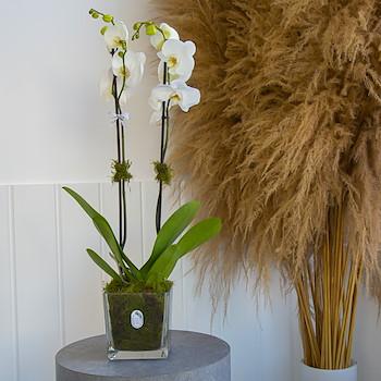 Coca Orchid 1