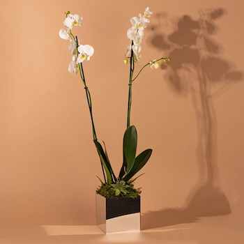 Mirror Orchid