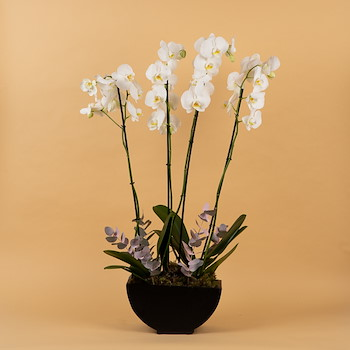 Orchid Us
