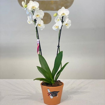 Grad Orchid Plant 1