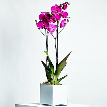 Radiant Purple Orchid