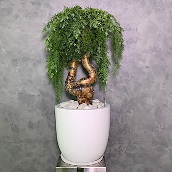 Araucaria Lucky Bonsai