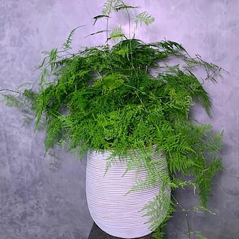 Asparagus Densifloris