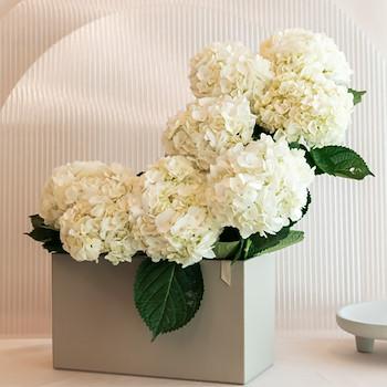 Bridal Hydrangea